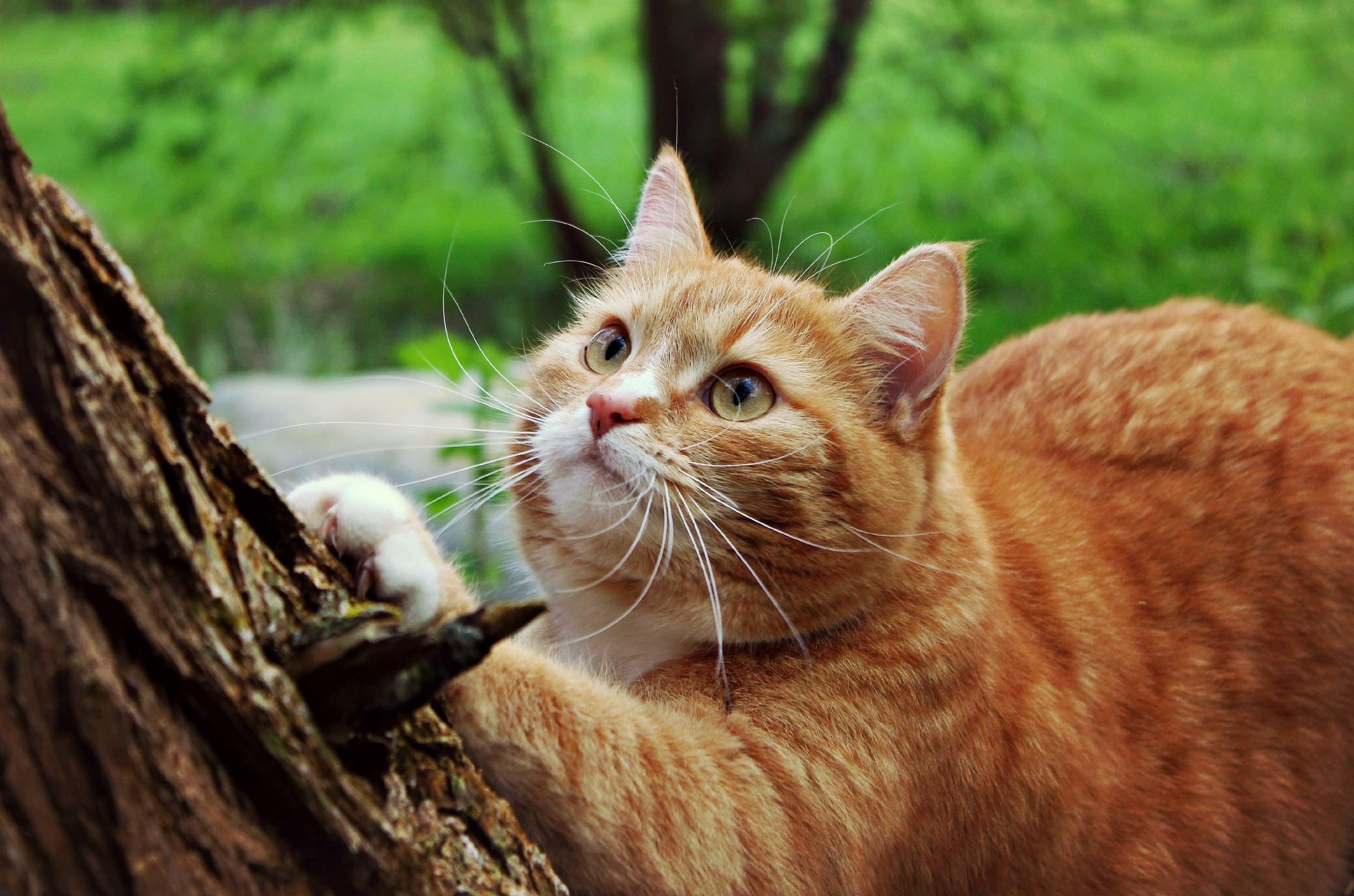 природа животные рыжий кот  № 941064 без смс