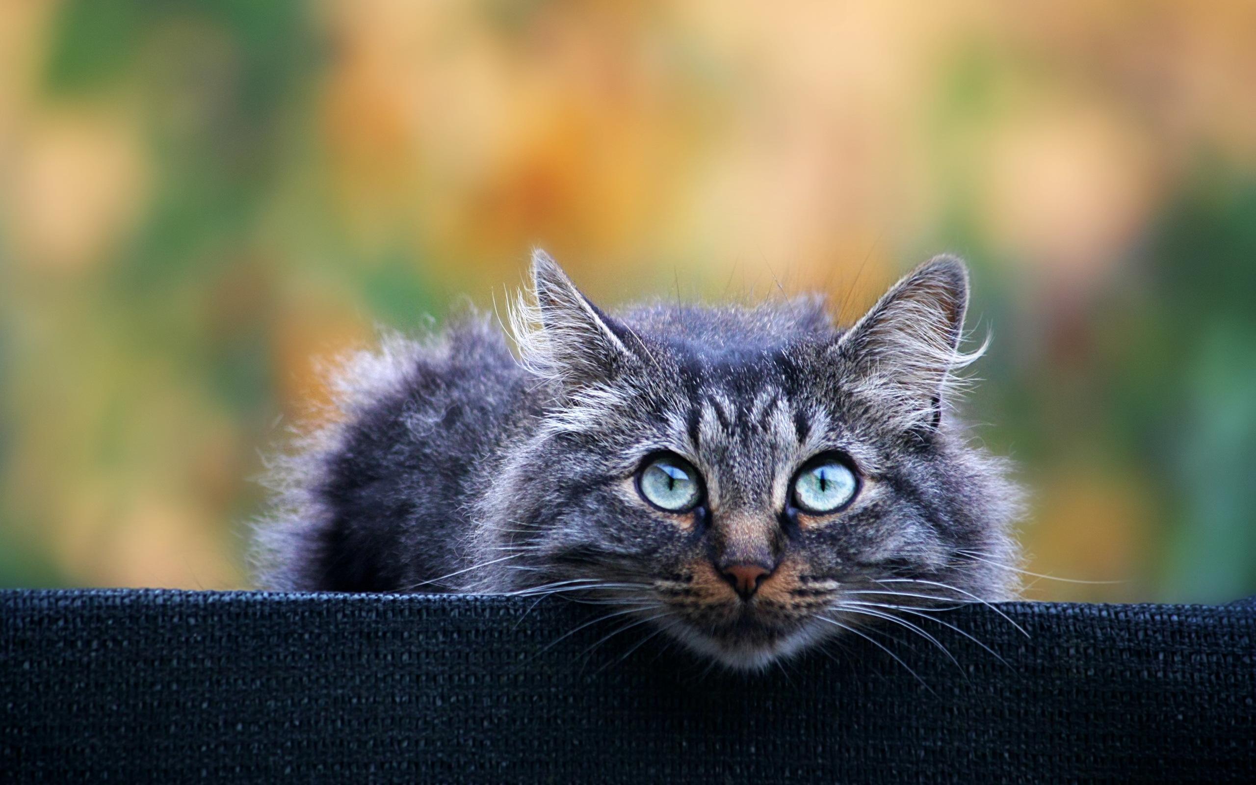 картинки с серыми кошками на рабочий стол отключить