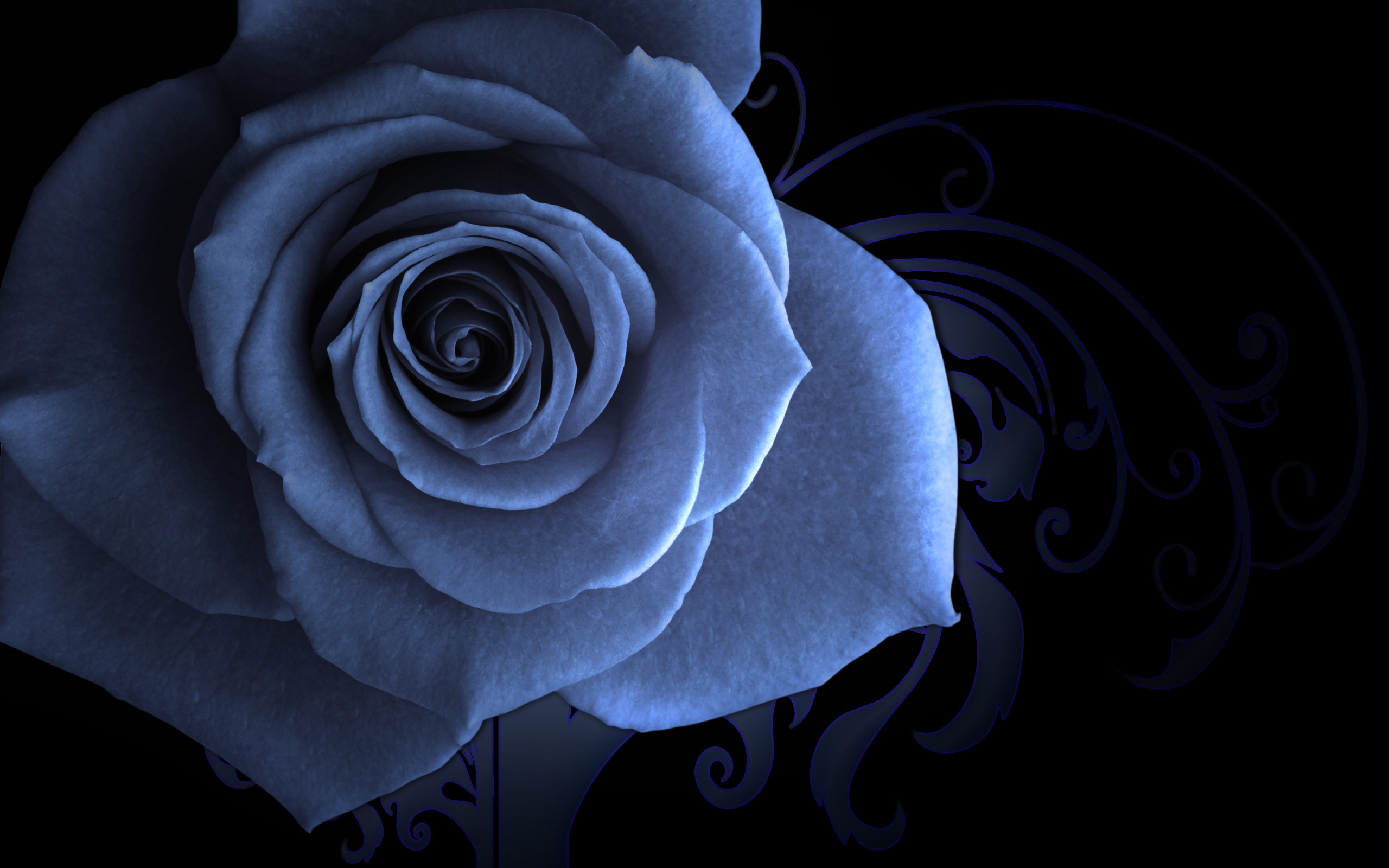 белые розы на черном фоне обои на рабочий стол № 133733  скачать