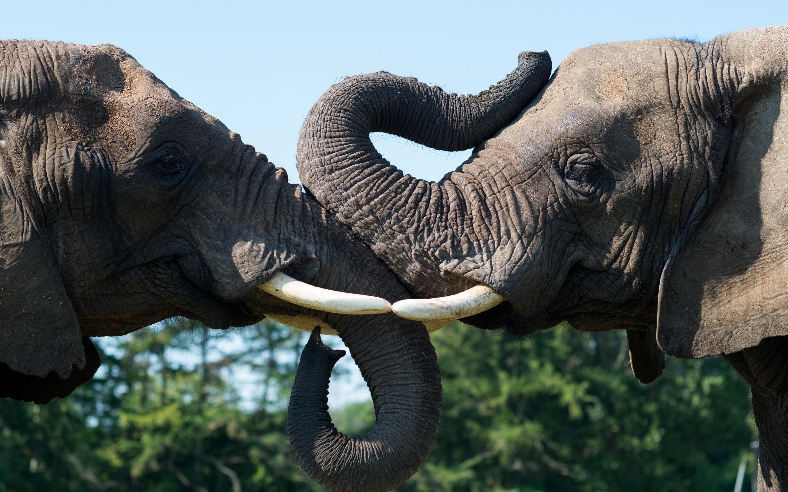 Картинки слонов для рабочего стола