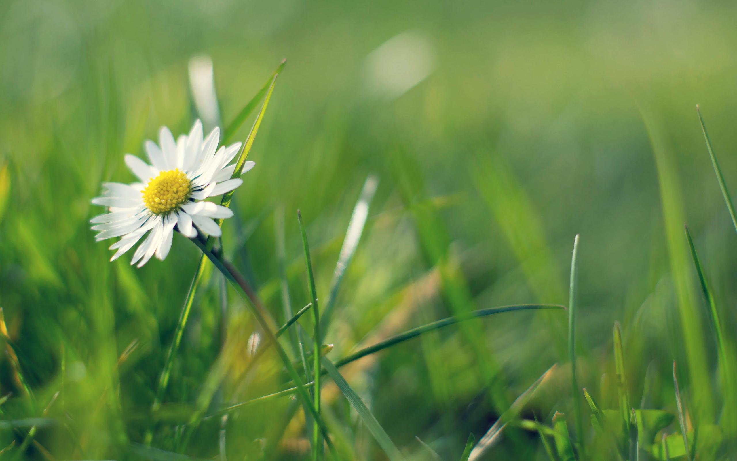 ромашки трава chamomile grass  № 3837793 без смс