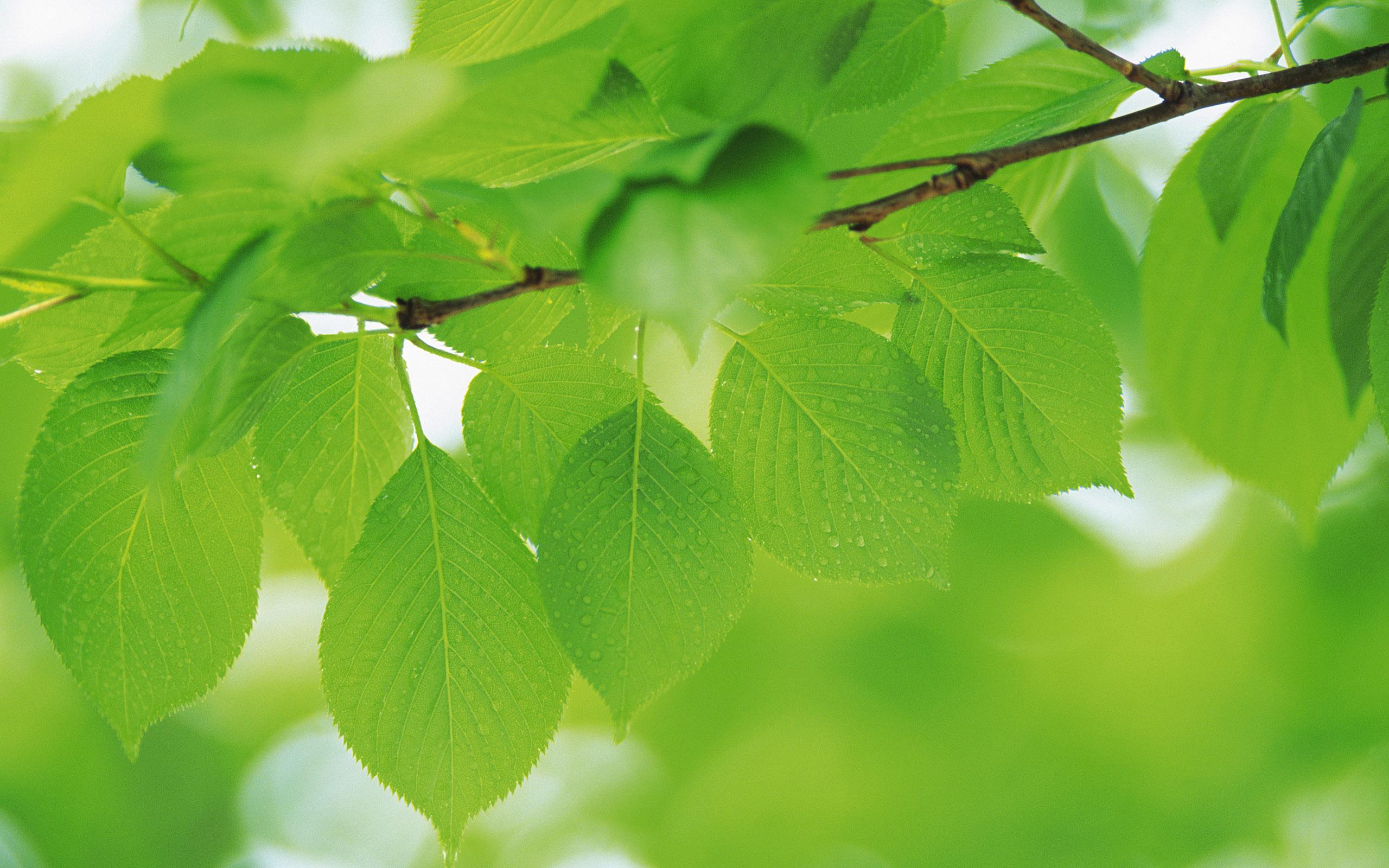 природа ветка листья nature branch leaves  № 2334 без смс