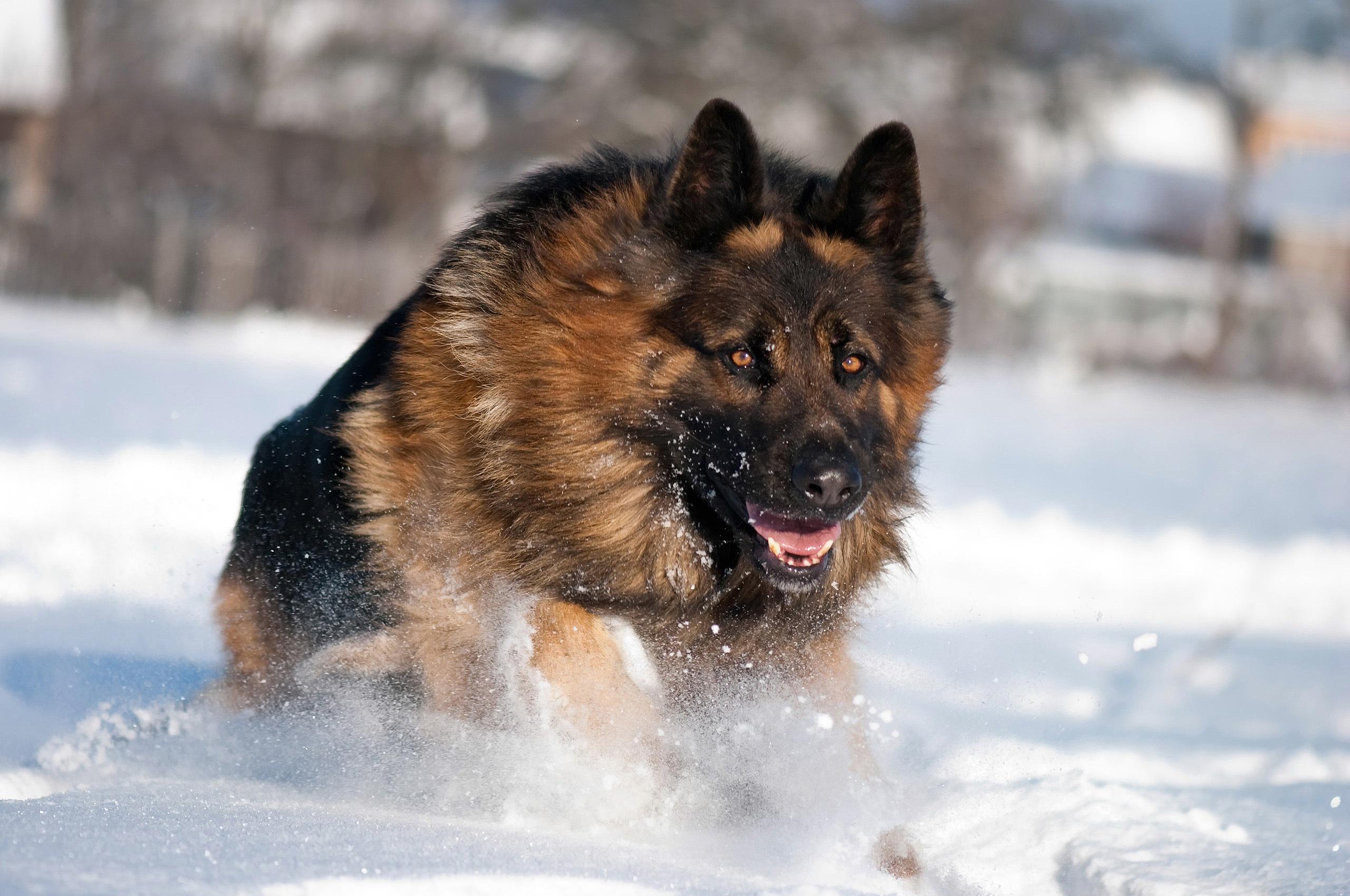 Овчарка в снегу  № 836465 без смс