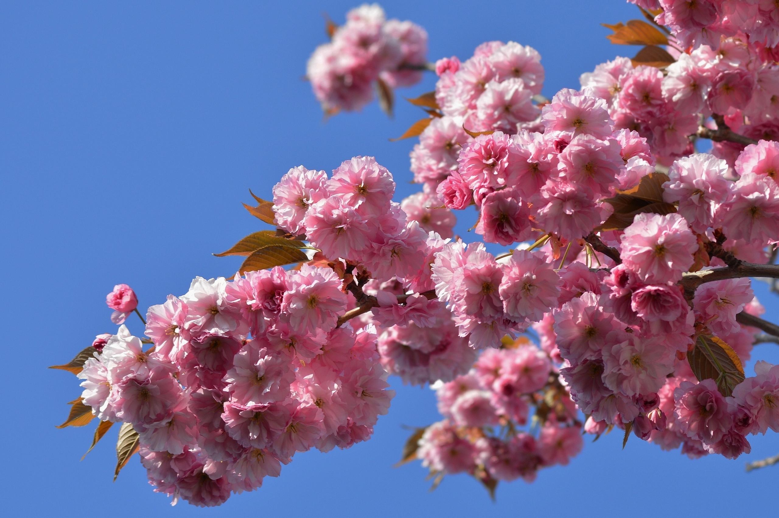 вишня цветение  № 2767234 без смс