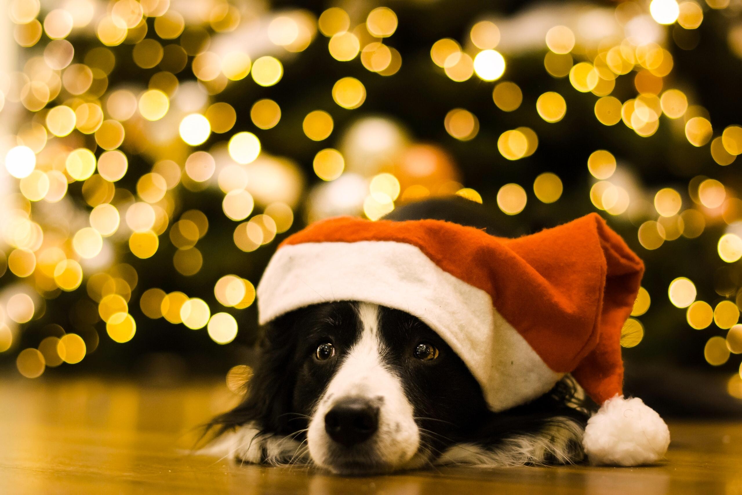 собачка в новогодней шапочке  № 1301910 бесплатно