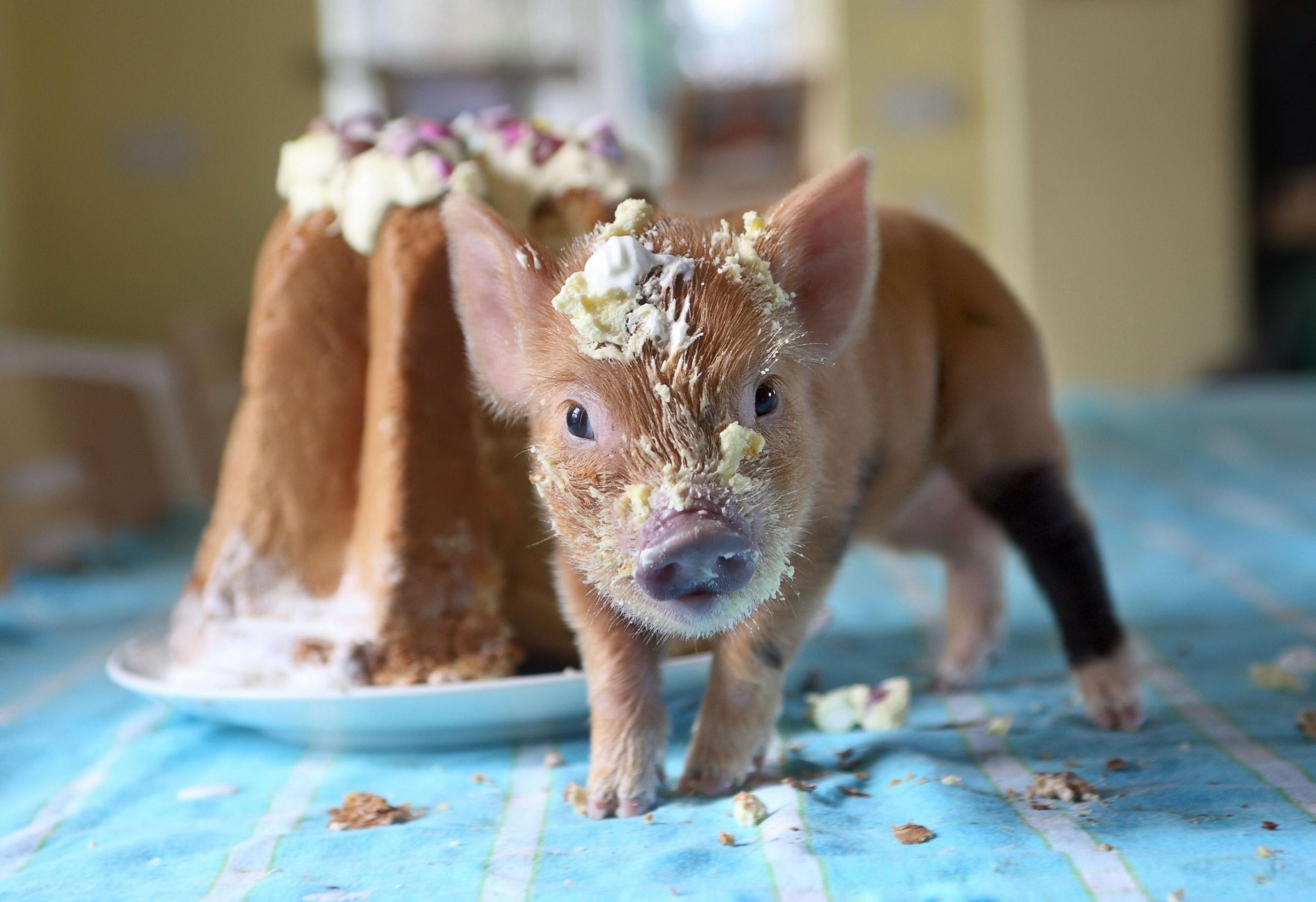 Обои на рабочий стол смешные фото свинюшек с собаками, днем рождения