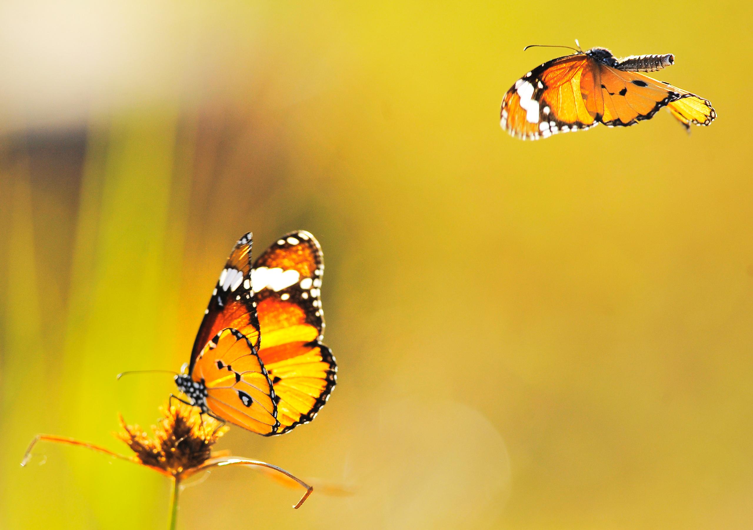 Бабочки подлетающие к цветкам  № 2991734  скачать