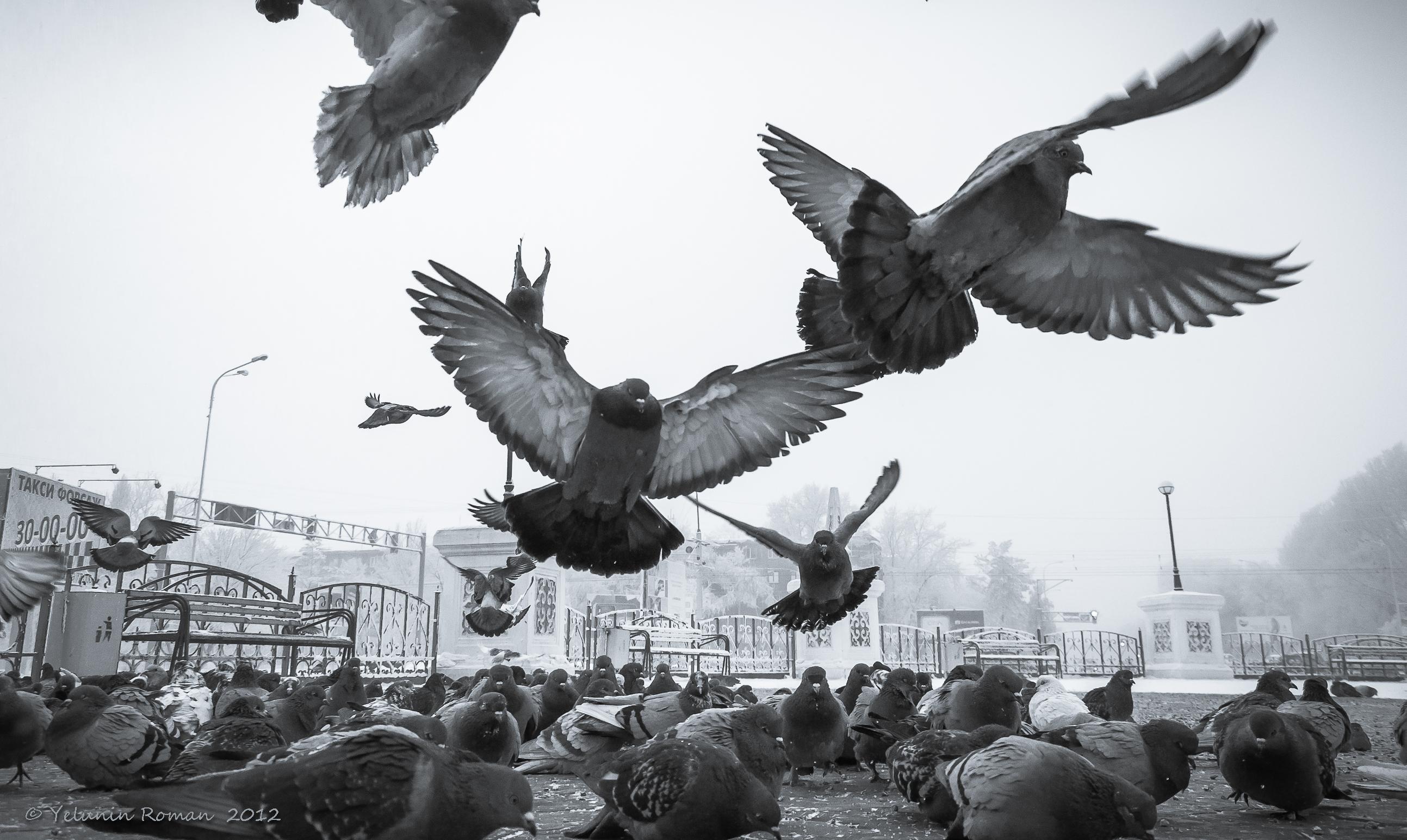 Картинки с голубями в небе зимой