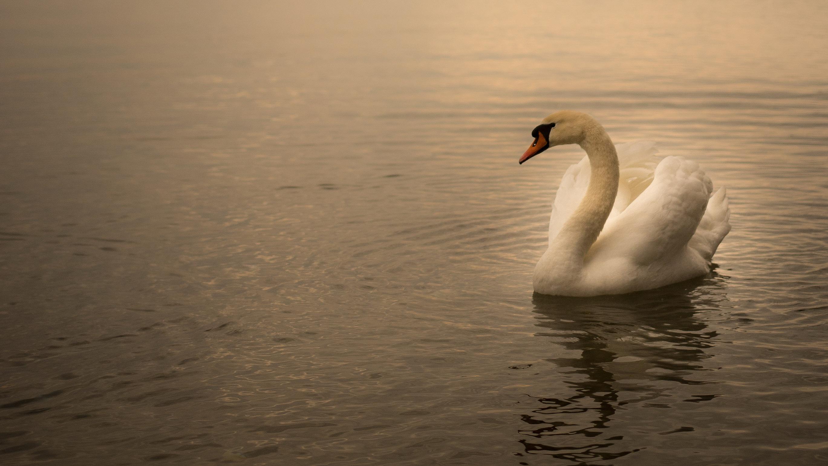 Одинокий лебедь картинки