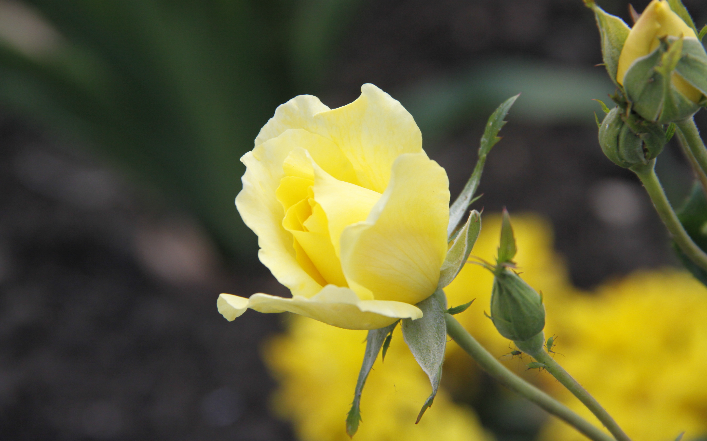 Желтый распустившийся цветок  № 731713 без смс