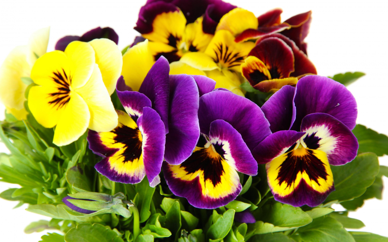 Скачать обои цветы, анютины глазки, white background, yellow, Viola, garden, violet, раздел цветы в разрешении 2880x1800