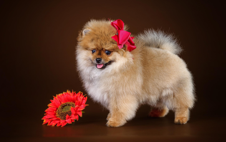Скорби, открытка с днем рождения с собакой шпиц