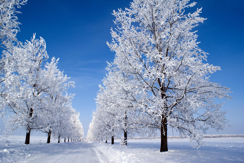 Картинка с деревьями в снегу