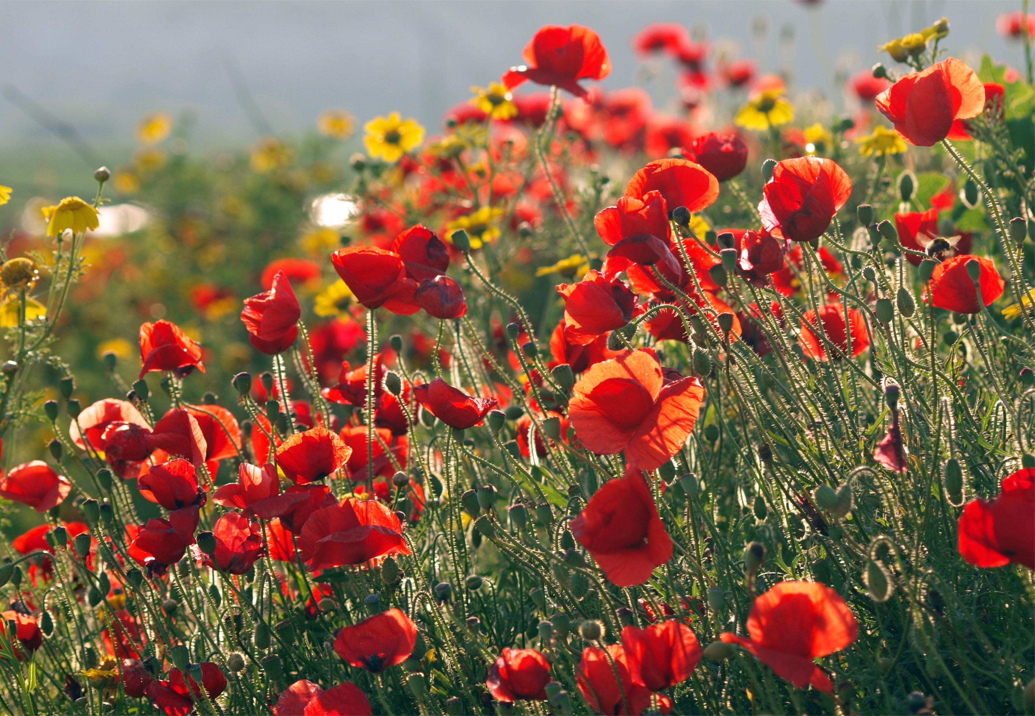 поле маки цветы  № 1877345  скачать