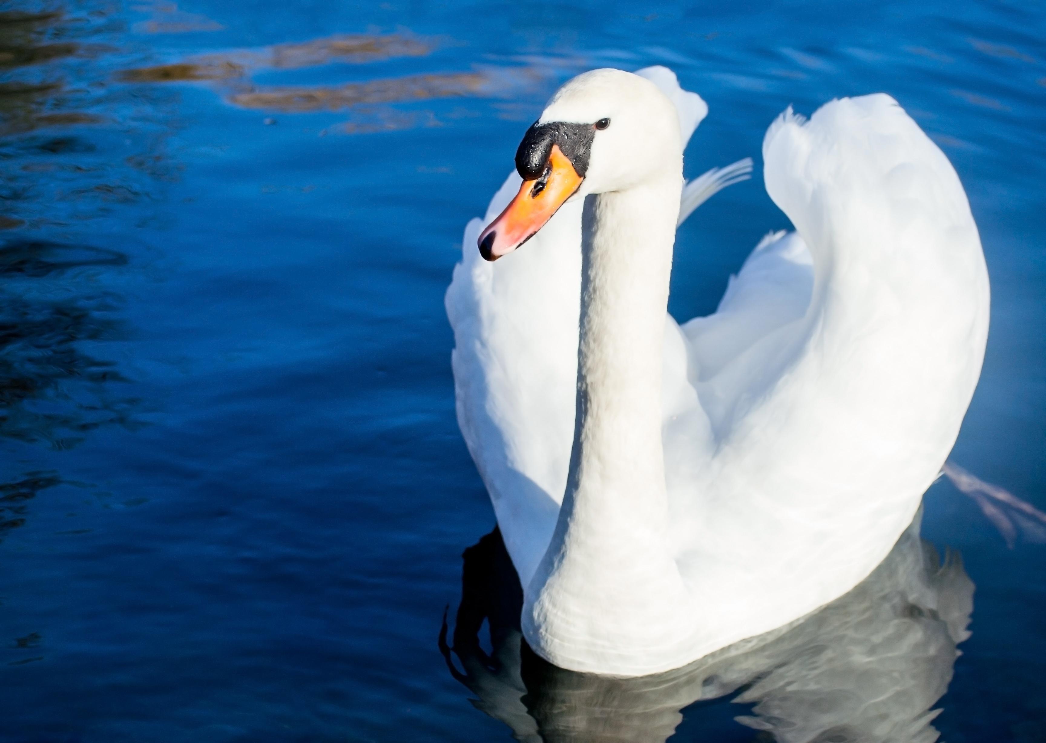 Глаза лебедя в картинках