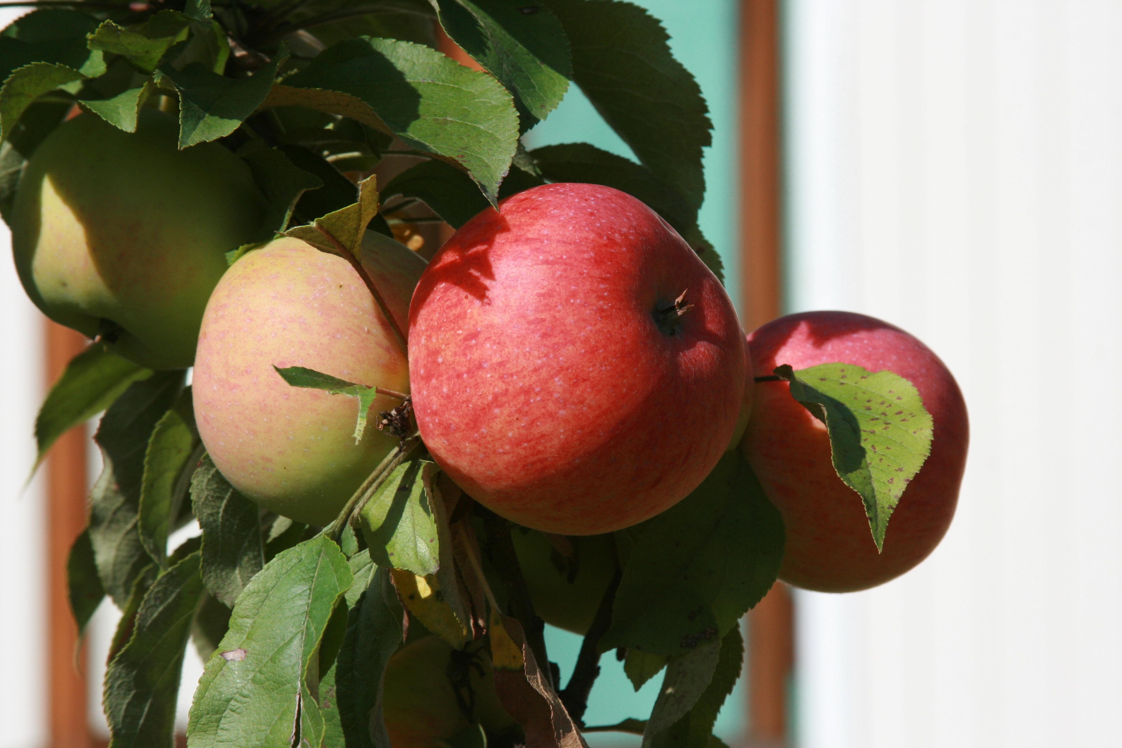 Обои на рабочий стол яблоки в саду