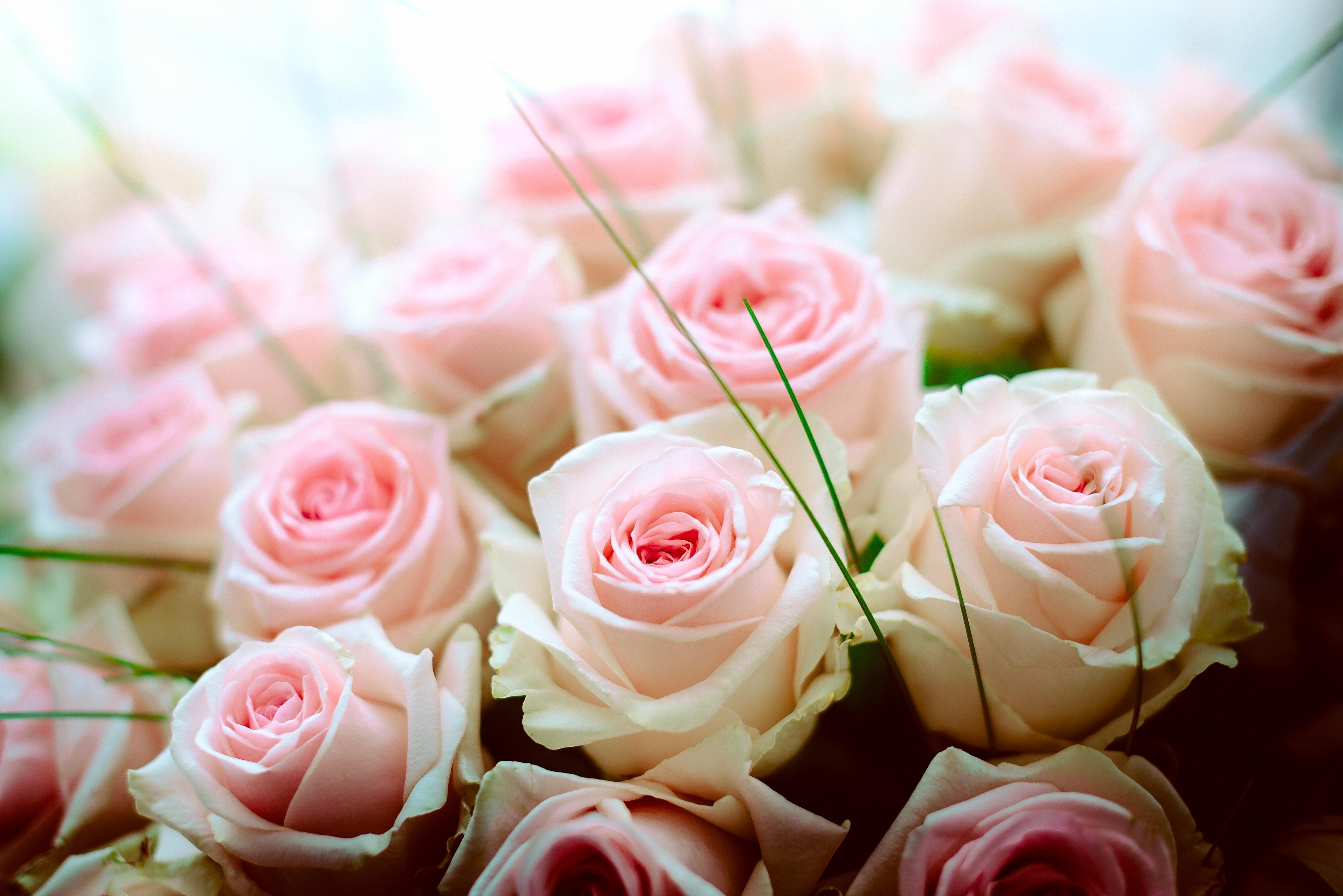 обои для рабочего стола розы красивые во весь экран № 233096  скачать