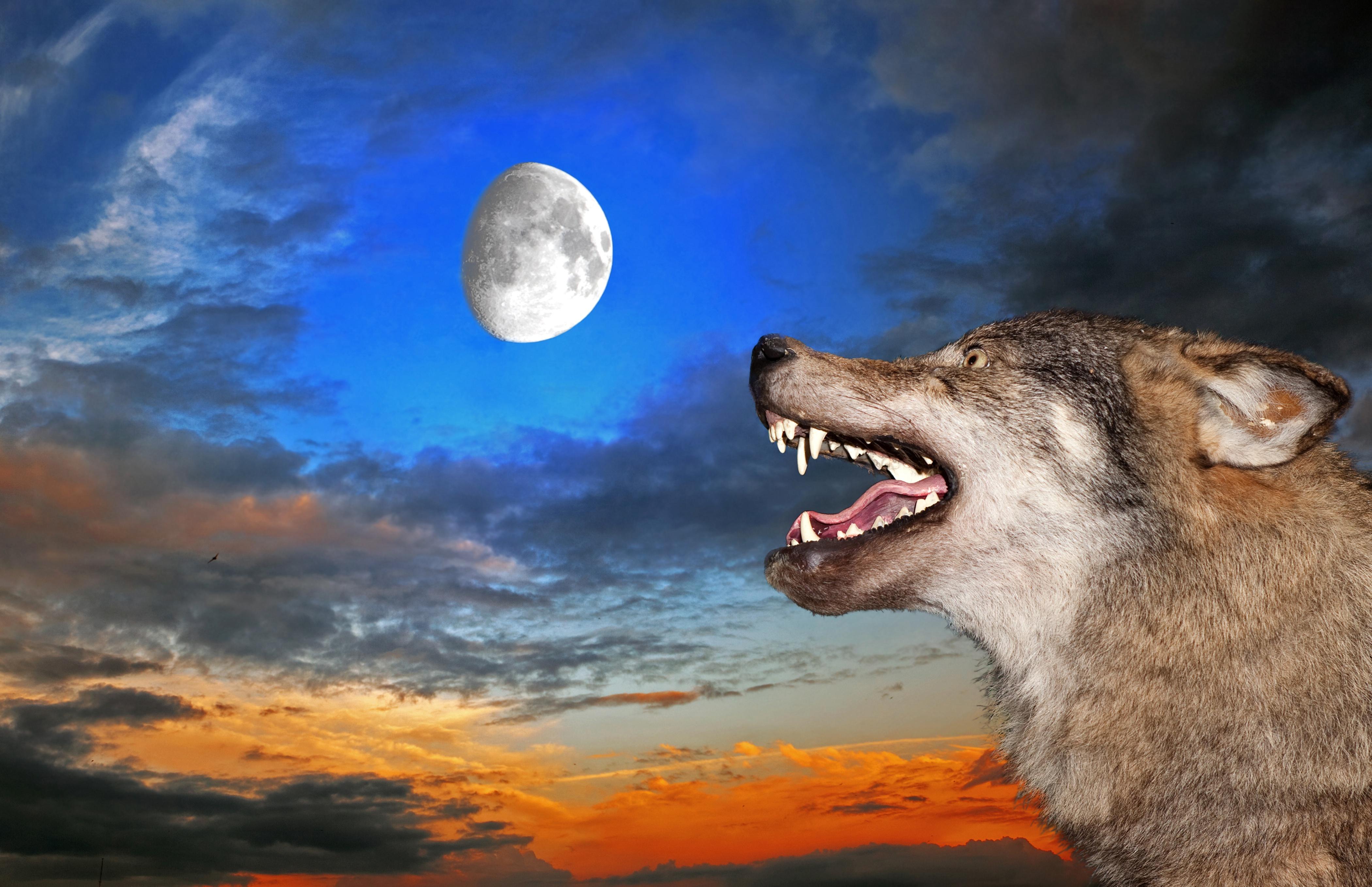 Картинки волков для компании