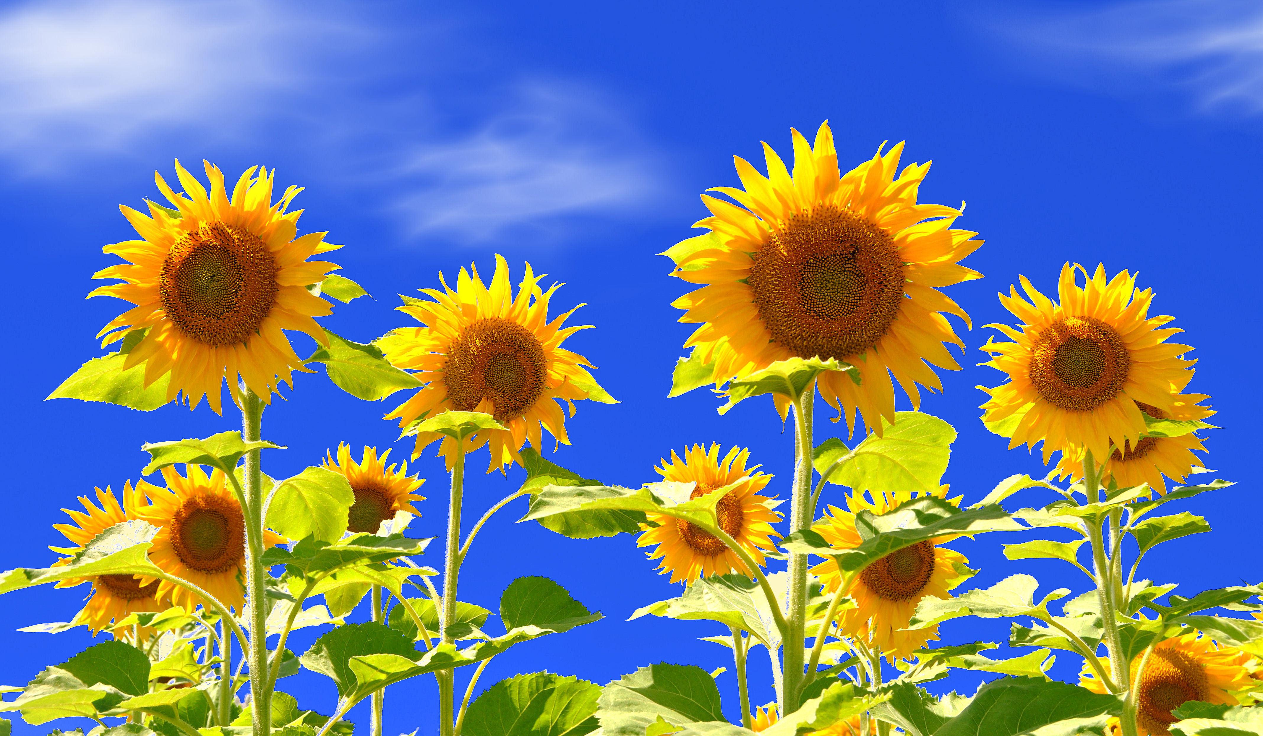 природа подсолнечник цветы nature sunflower flowers  № 2672130 без смс