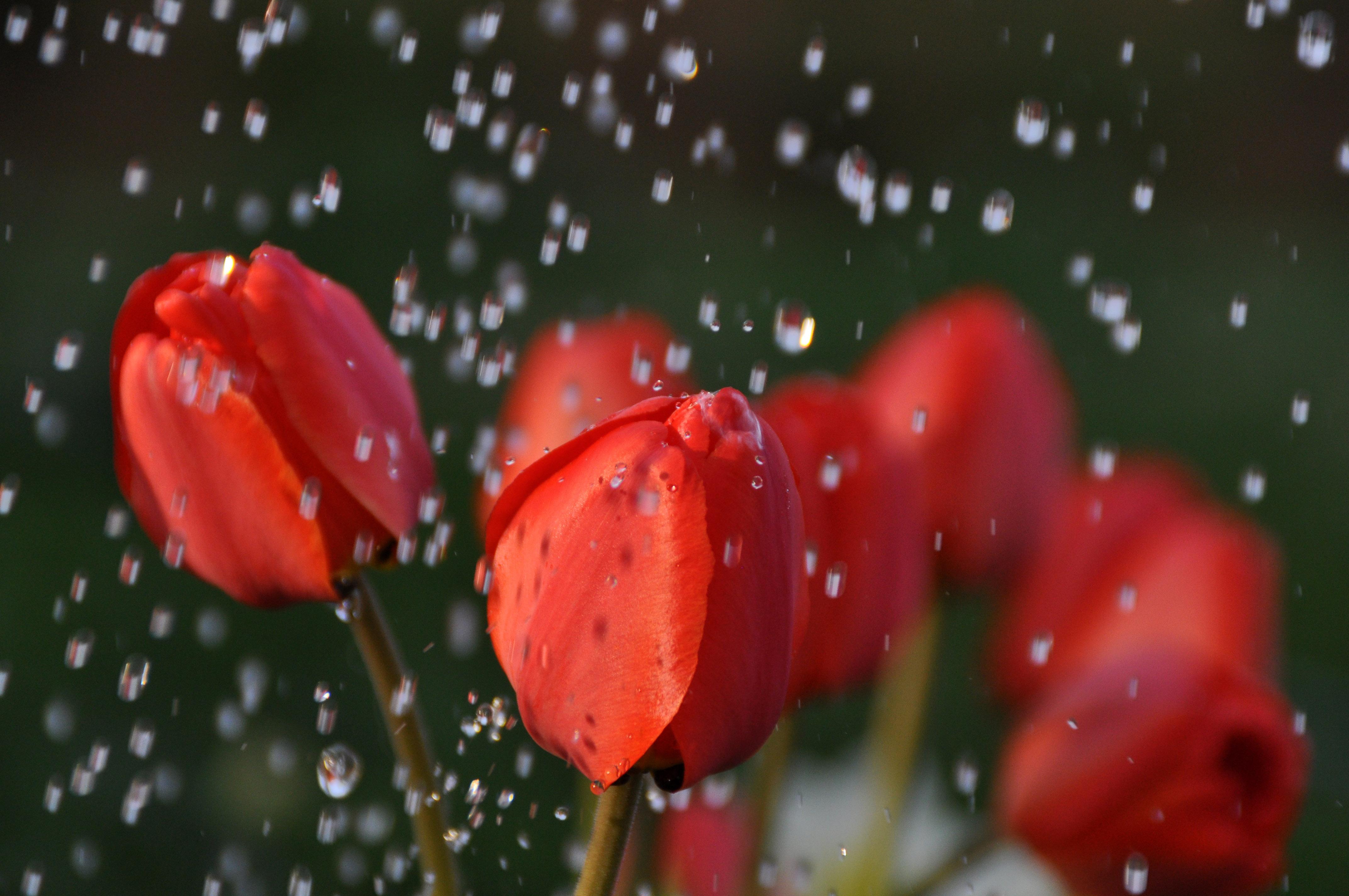 макро цветы красные природа тюльпаны  № 3286366 загрузить