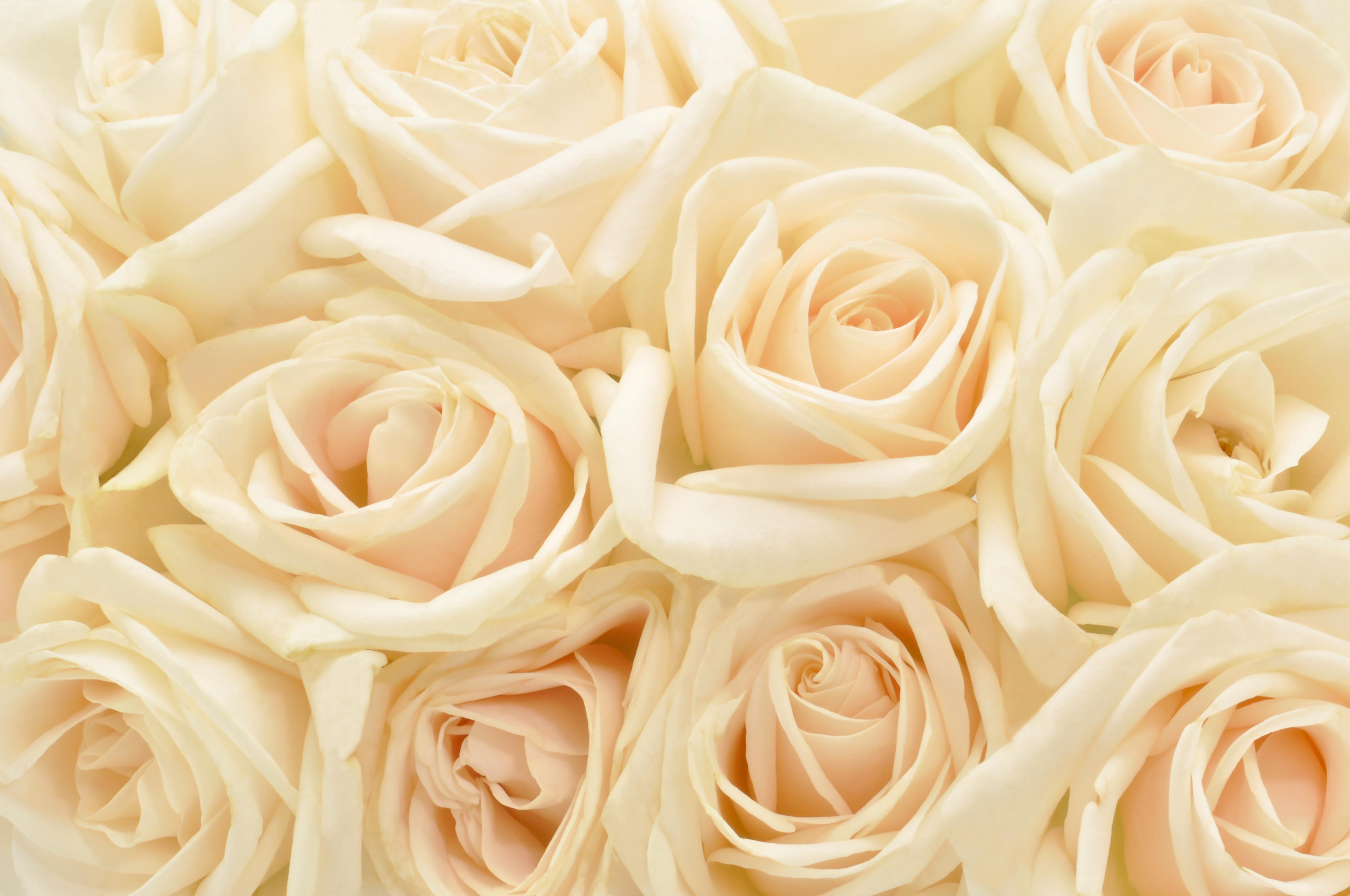 нежно-кремовые свадебные розы  № 1323059 бесплатно