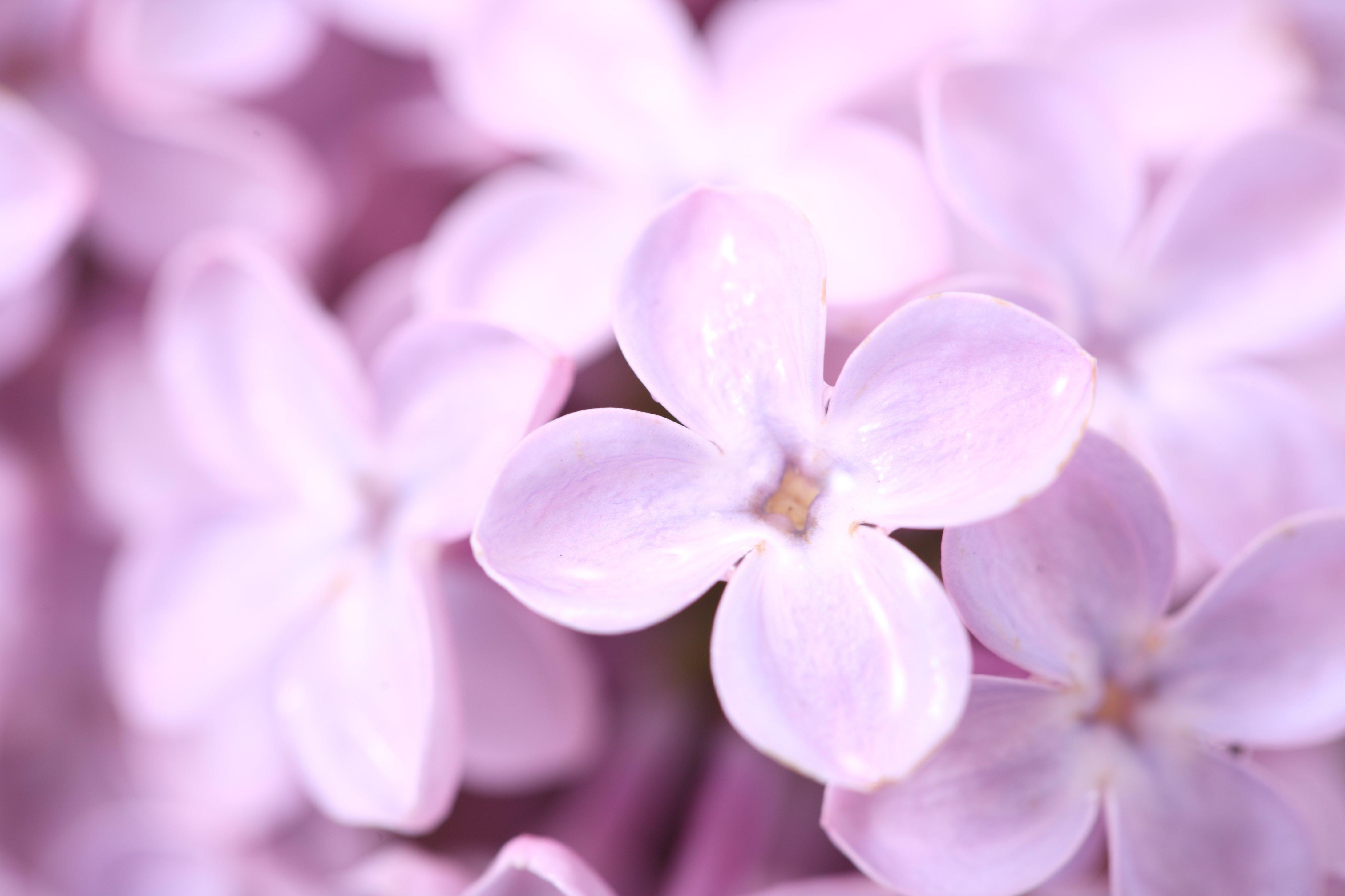 Сирень белая розовая сиреневая  № 3065862 без смс