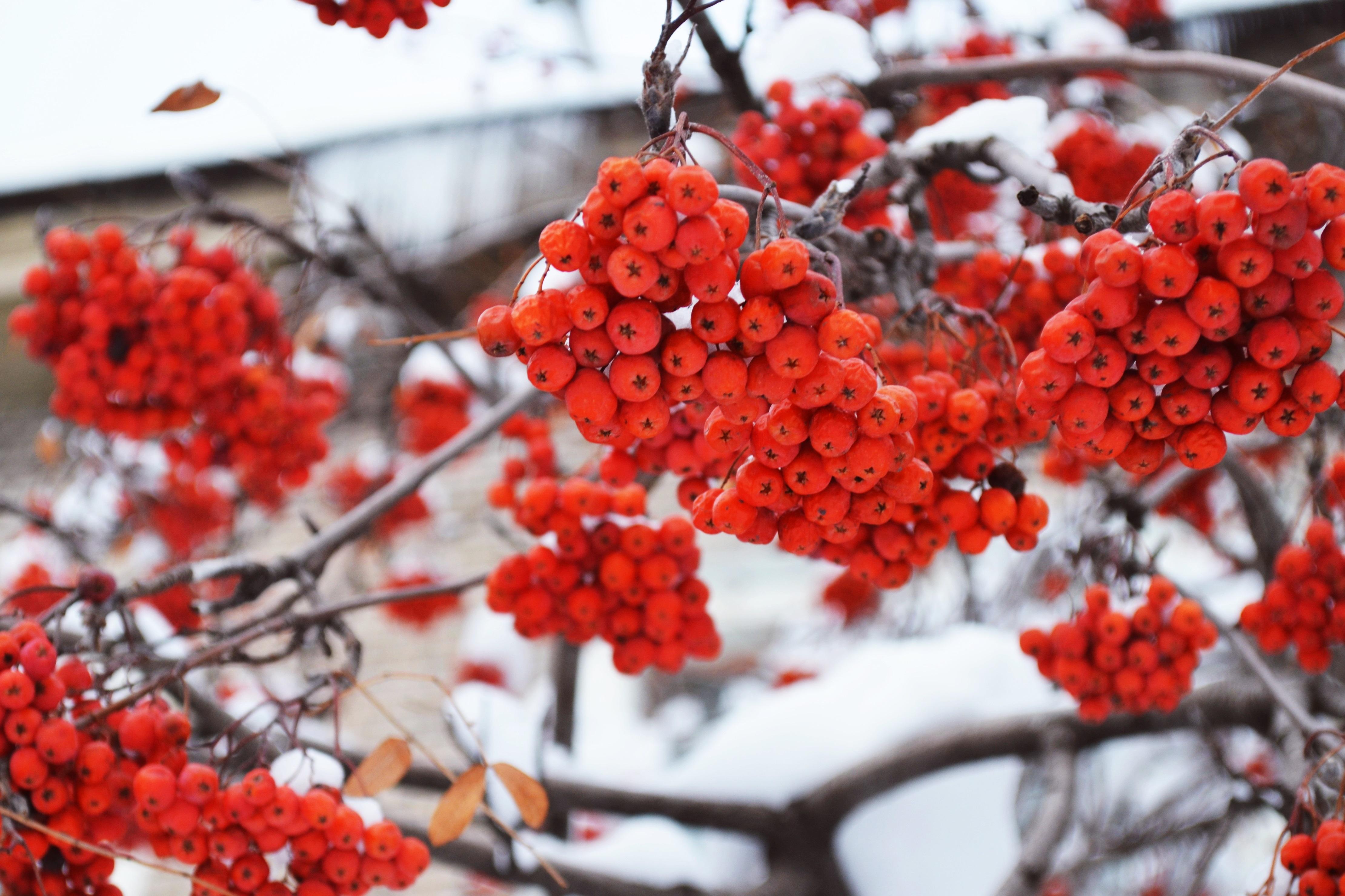 природа мороз рябина зима ветки еда ягоды  № 457132 загрузить