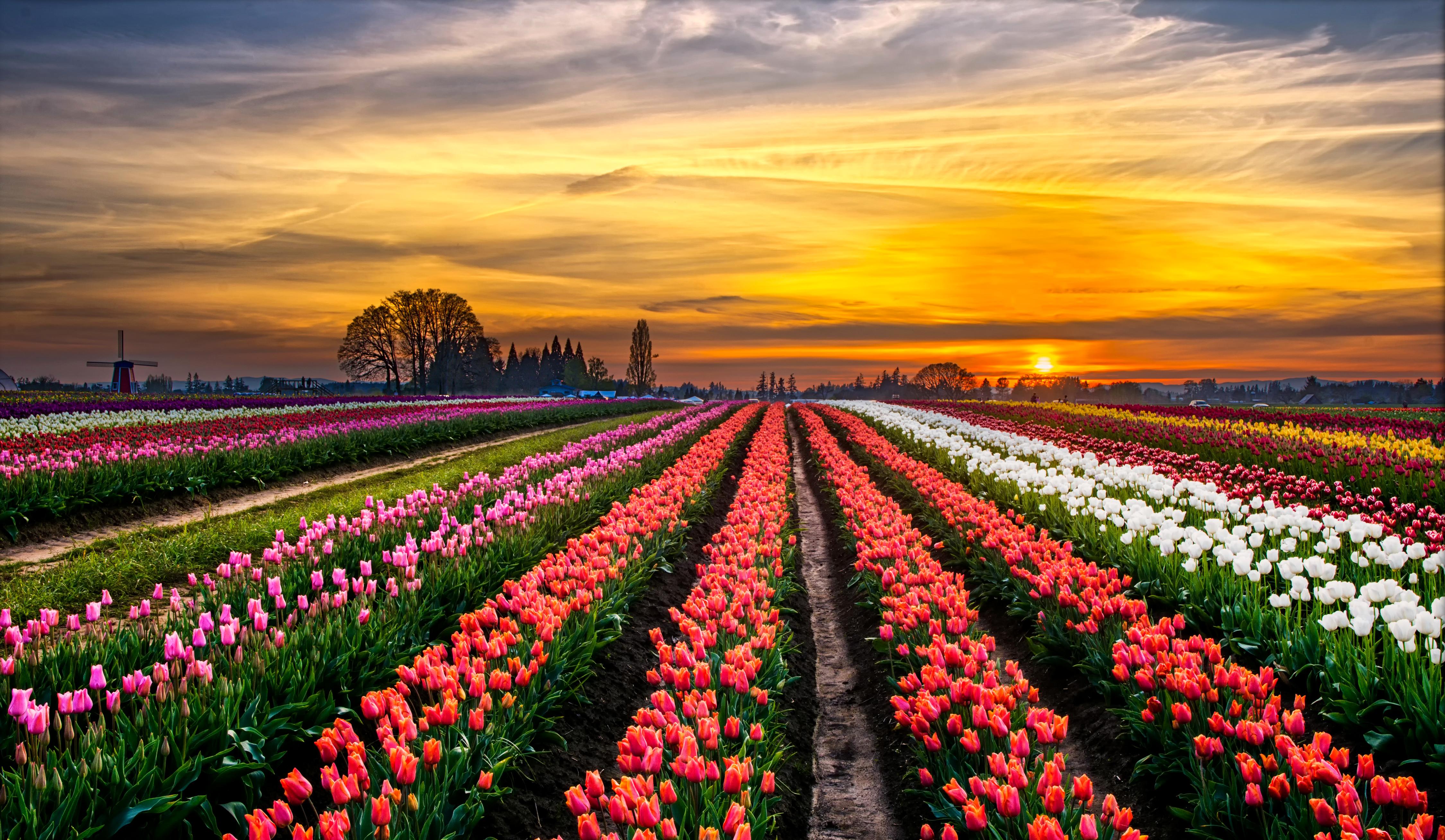 тюльпаны поляна закат  № 3285802 бесплатно