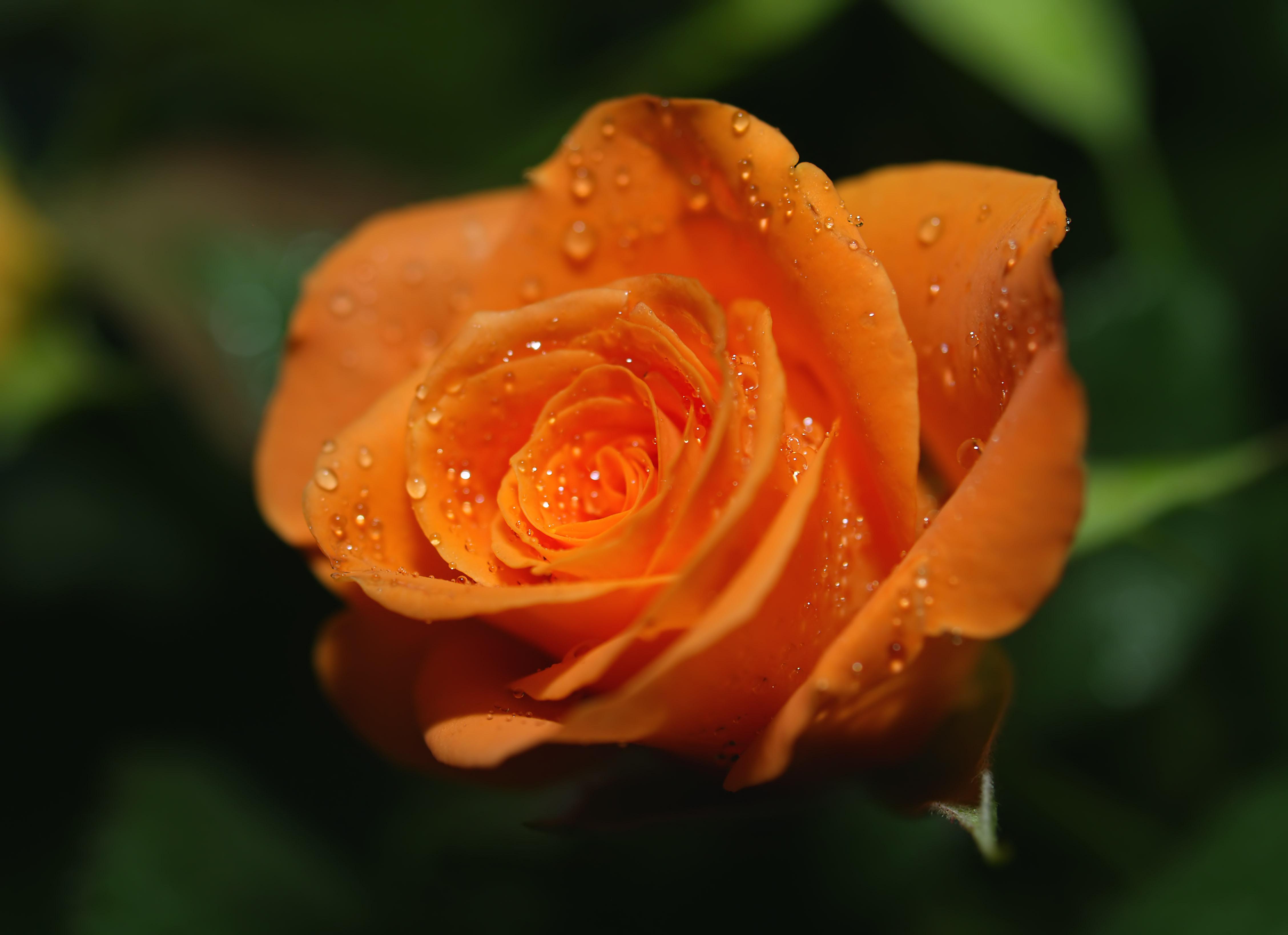 Обои На Телефон Розы
