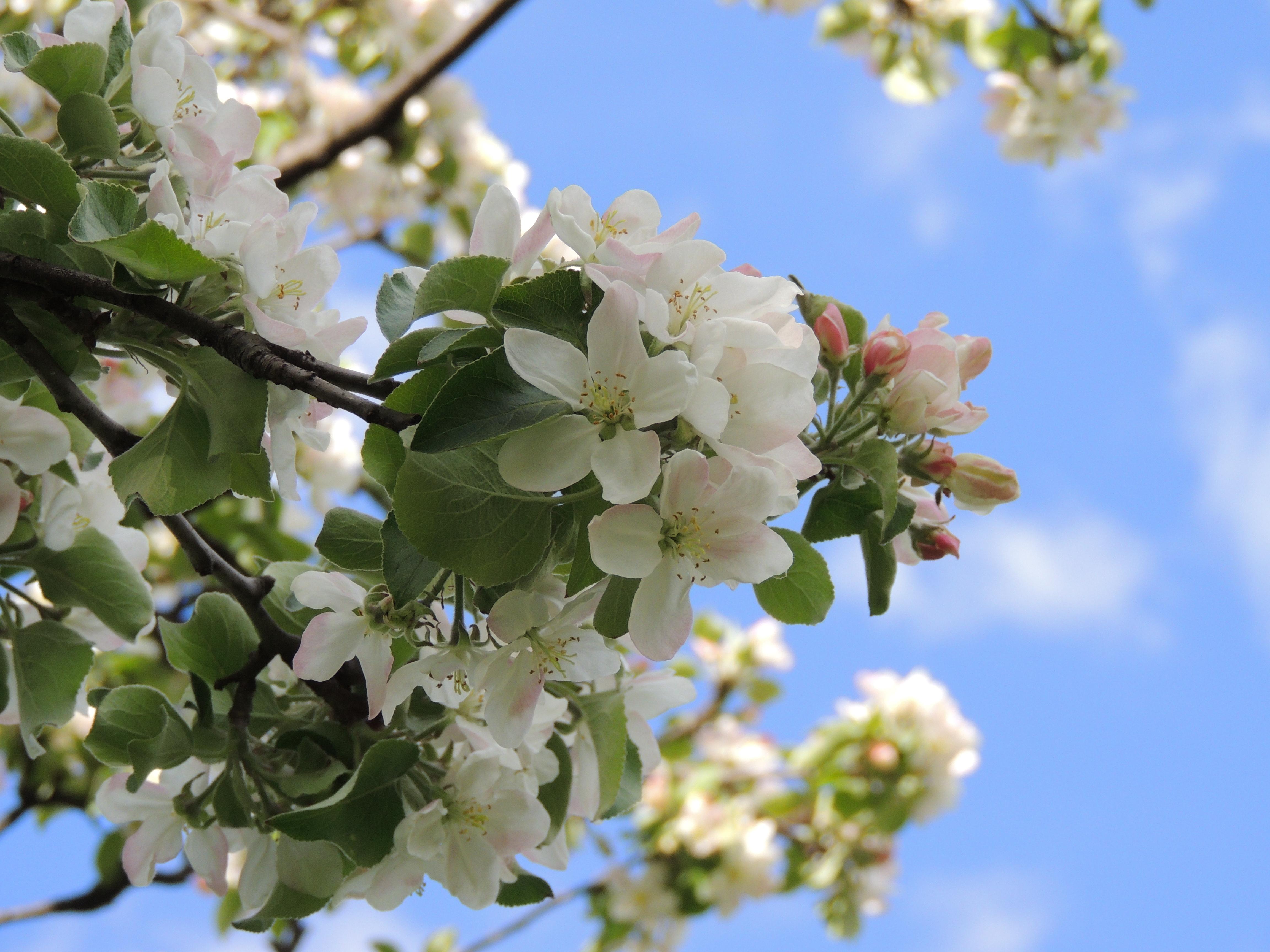 Картинки цветущая яблоня на рабочий стол, поздравления