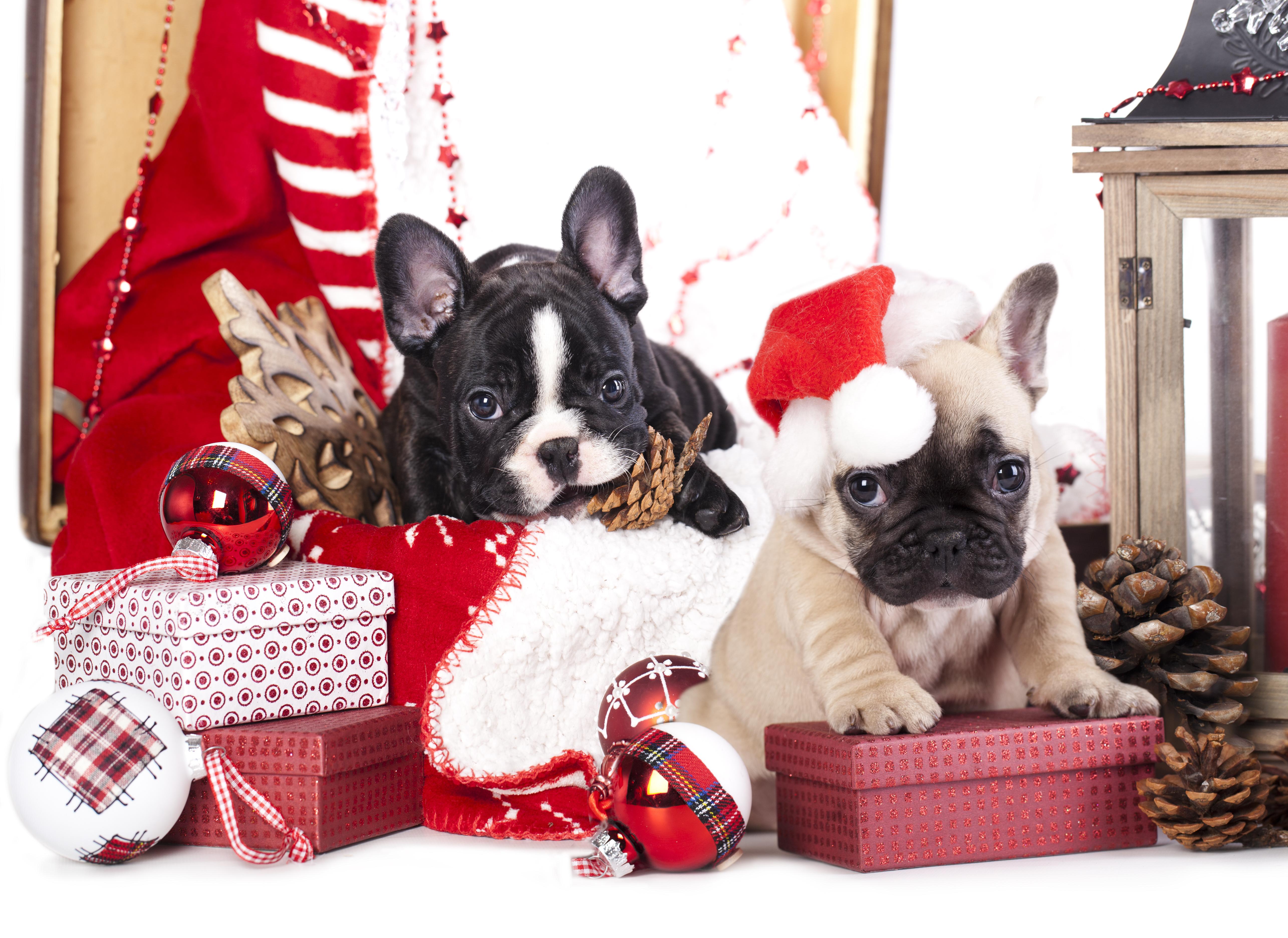 собачка в новогодней шапочке  № 1301970 бесплатно