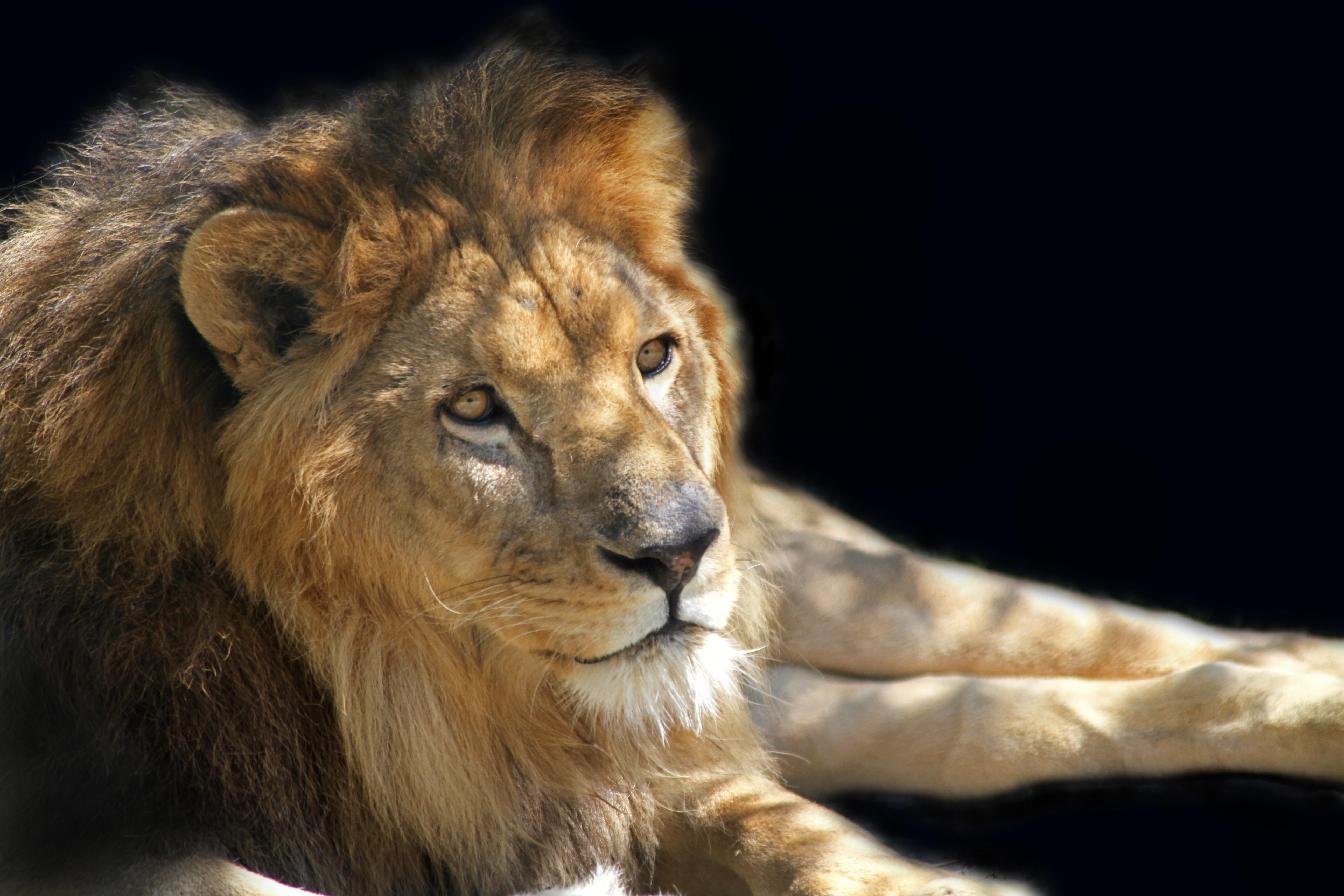 Открытка лев царь зверей