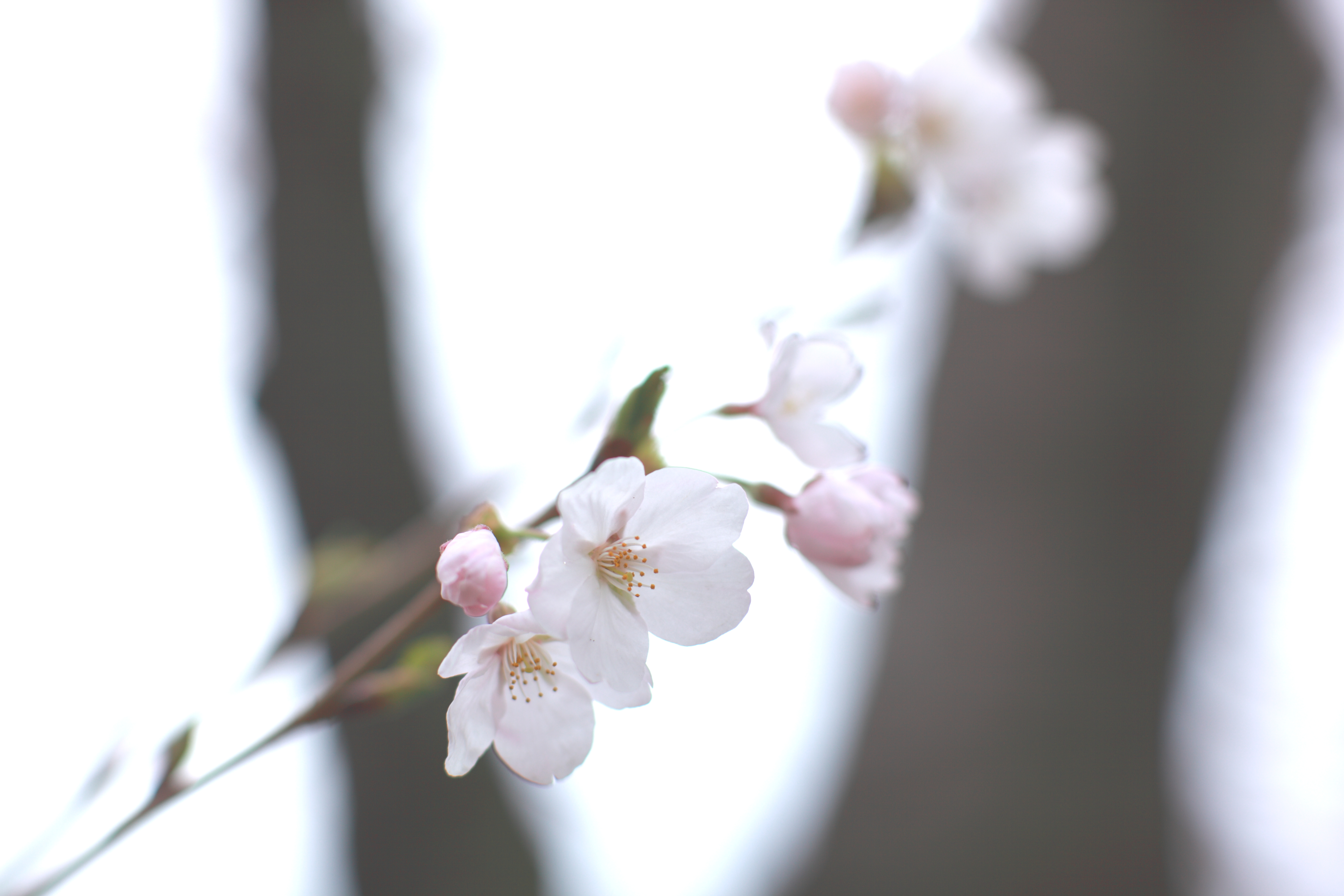 Секс цветы вишни 26 фотография