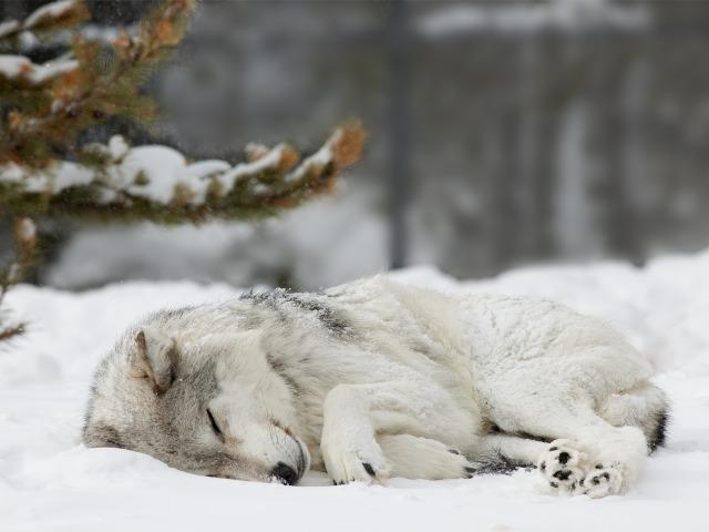 Причём приснился тот волк, который у меня на аватарке в соц.