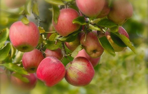 Картинка листья, ветки, яблоки, плоды