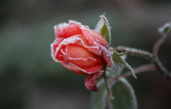 Картинка холод, иней, цветок, макро, цветы, фон, обои, роза, розы, сад, мороз