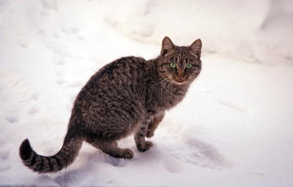 Картинка зима, кошка, глаза, кот, снег, природа, зеленые, полосатая