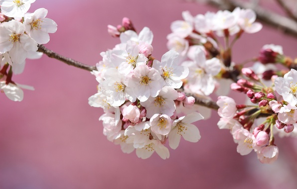 Картинка макро, вишня, ветка, весна, сакура, цветение