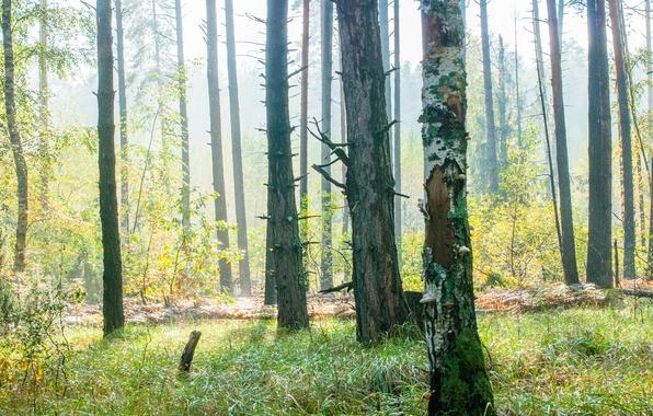 Картинка лес, трава, солнце, свет, деревья, туман, обои, тени, wallpaper, grass, forest, wood, sun, fog, shadows, …