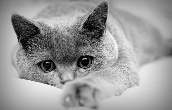Картинка кот, макро, лапа, лежит