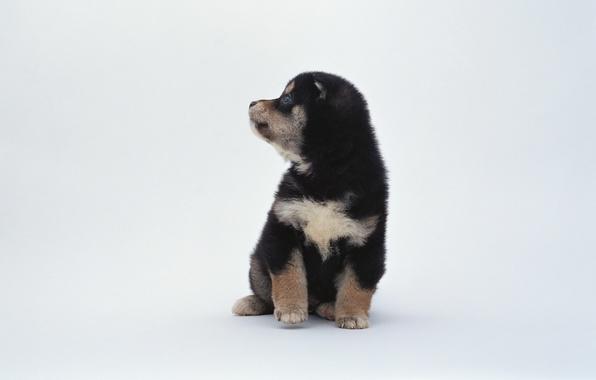 Картинка животные, черно-белый, пятна, щенок, белый фон, собачка