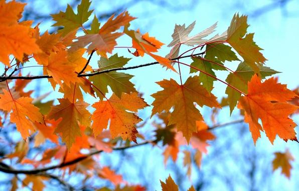 Картинка осень, небо, листья, ветка, клен