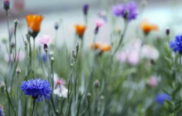 Картинка трава, макро, Поле, размытость, розовые, цветочки, оранжевые, бутоны, синие, васильки