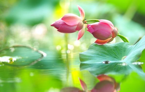 Картинка вода, капли, отражение, розовый, нежность, лотос, бутоны