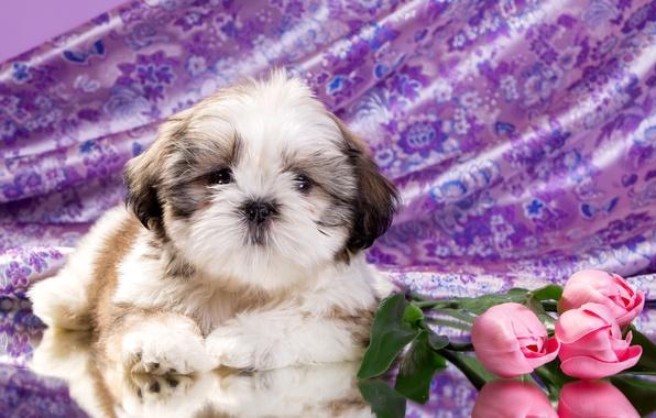 Картинка цветы, щенок, ши-тцу
