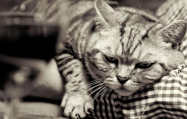 Картинка кошка, кот, морда, лапа, чёрно-белая, когти, британец, Британская короткошёрстная