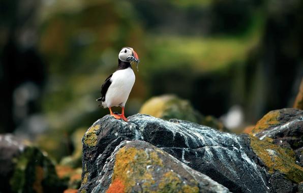 Картинка птицы, камни, фон, скалы, птица, розмытость, Атлантический тупик, Fratercula arctica, Puffin