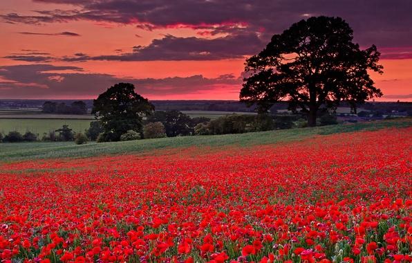 Картинка поле, небо, трава, деревья, цветы, тучи, холмы, маки