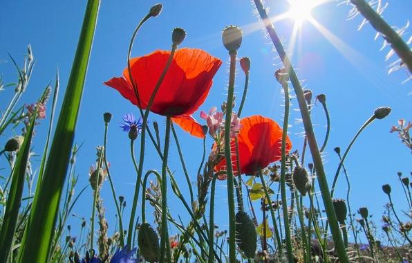 Картинка поле, небо, трава, солнце, макро, лучи, цветы, маки, луг