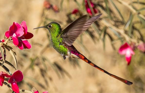 Картинка цветок, птица, крылья, клюв, колибри, хвост
